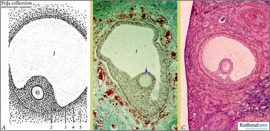 Tertiary (antral) follicles in ovary
