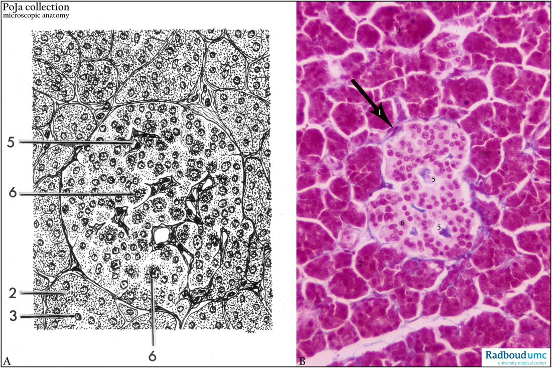 Islet Of Langerhans Of Endocrine Pancreas Human Poja Collection