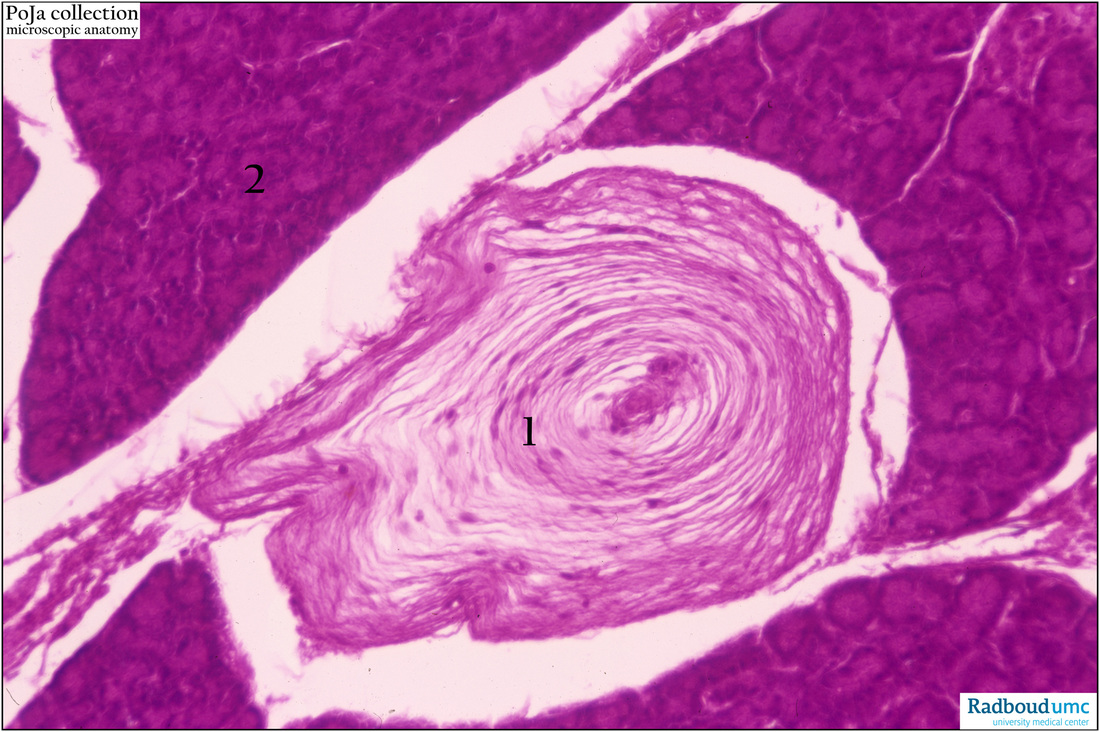 Pacinian corpuscle in the pancreas (cat) - POJA Collection ...