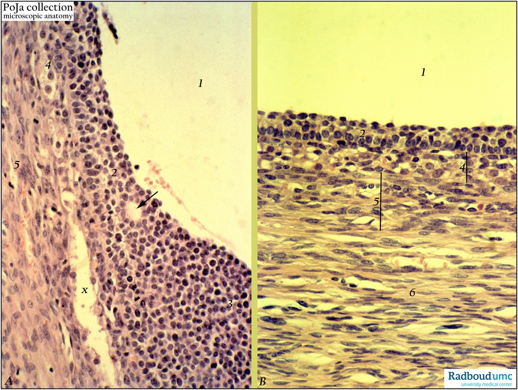 Antral follcicles in ovary